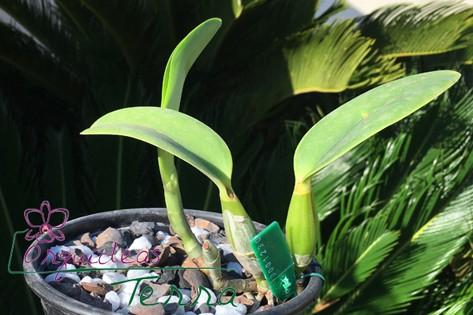 Cattleya walkeriana semi-alba Hirata  - Orquídeas Terra