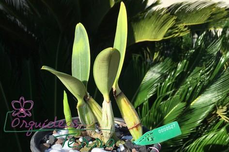 Cattleya walkeriana semi-alba Salú  - Orquídeas Terra