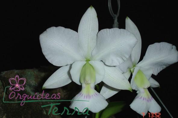 Cattleya walkeriana semi-alba São Francisco  - Orquídeas Terra