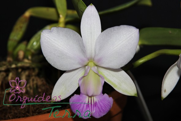 Cattleya walkeriana suave Cassola  - Orquídeas Terra
