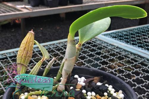 Cattleya walkeriana suave Nely  - Orquídeas Terra