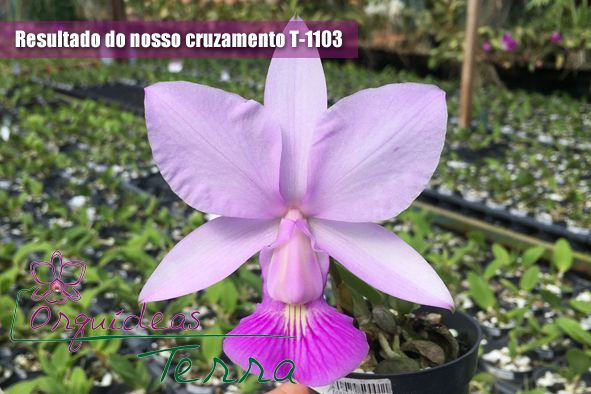 Cattleya walkeriana suave Nely X Cattleya walkeriana suave Cassola  - Orquídeas Terra