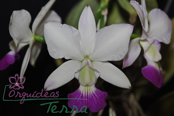 Cattleya walkeriana suave Orlando Mazzetto  - Orquídeas Terra