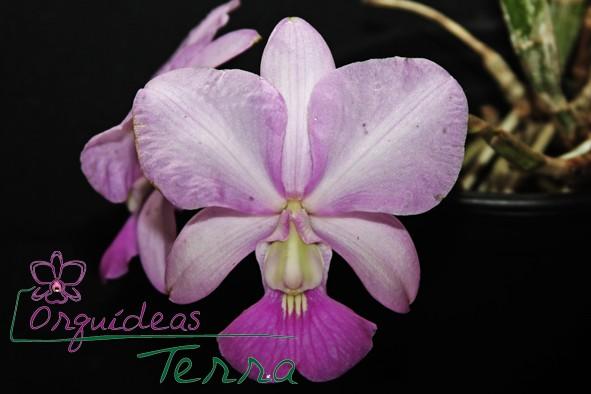 Cattleya walkeriana suave Pezinho  - Orquídeas Terra