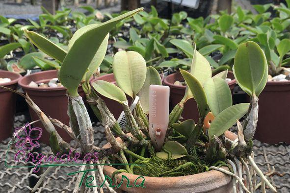 Cattleya walkeriana suavíssima   - Orquídeas Terra