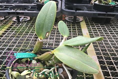 Cattleya walkeriana suavíssima Kelly Cristina  - Orquídeas Terra