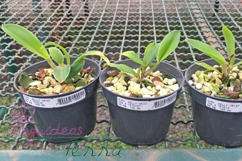 Cattleya walkeriana suavíssima Kelly Cristina X Cattleya walkeriana semi-alba Tetéia  - Orquídeas Terra