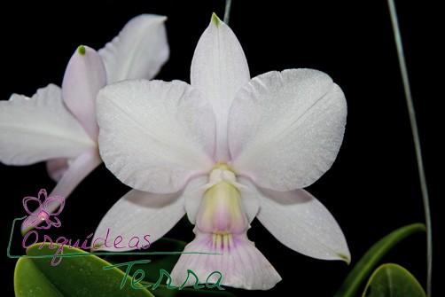 Cattleya walkeriana suavíssima Requinte TE  - Orquídeas Terra