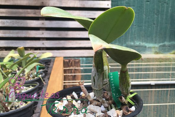 Cattleya walkeriana tipo #810 TE  - Orquídeas Terra