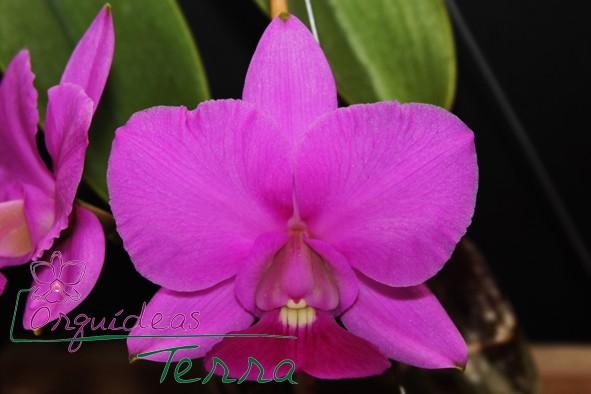 Cattleya walkeriana tipo Ana Luiza  - Orquídeas Terra
