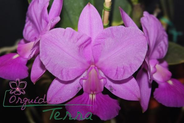 Cattleya walkeriana tipo Bia Barros  - Orquídeas Terra