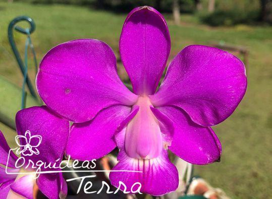 Cattleya walkeriana tipo Boa Esperança  - Orquídeas Terra
