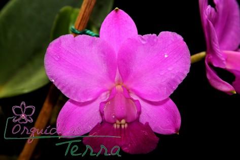 Cattleya walkeriana tipo Capricho da Terra TE  - Orquídeas Terra