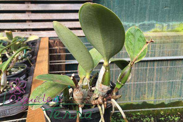 Cattleya walkeriana tipo flâmea Rouge TE  - Orquídeas Terra