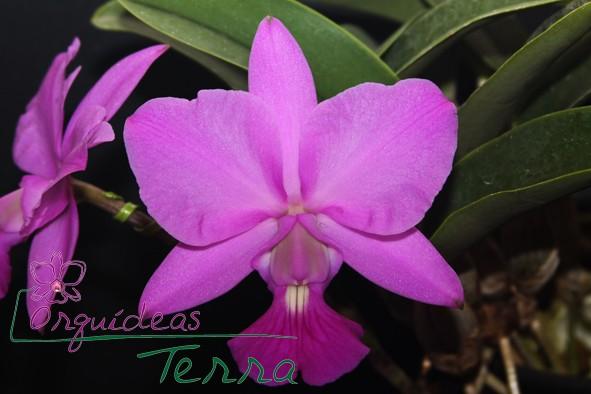 Cattleya walkeriana tipo Horizonte Perdido TE  - Orquídeas Terra