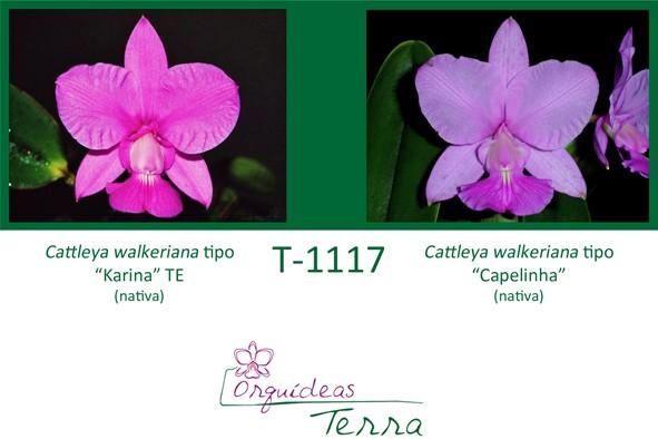 Cattleya walkeriana tipo Karina TE X Cattleya walkeriana tipo Capelinha  - Orquídeas Terra