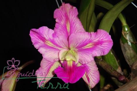 Cattleya walkeriana tipo labeloide Marcelo Terra TE  - Orquídeas Terra