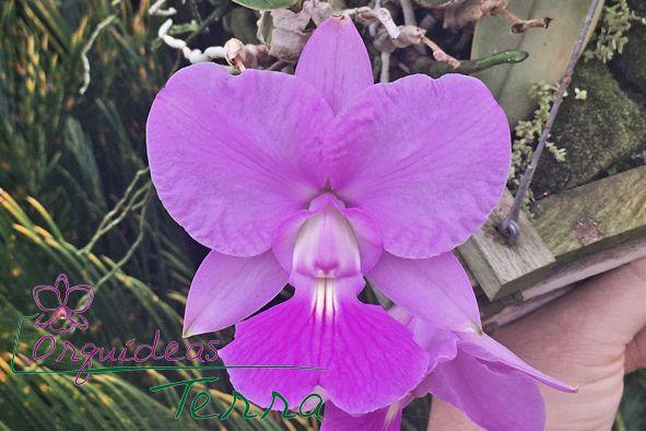 Cattleya walkeriana tipo Medalha Milagrosa TE  - Orquídeas Terra