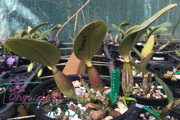 Cattleya walkeriana tipo Moacir  - Orquídeas Terra