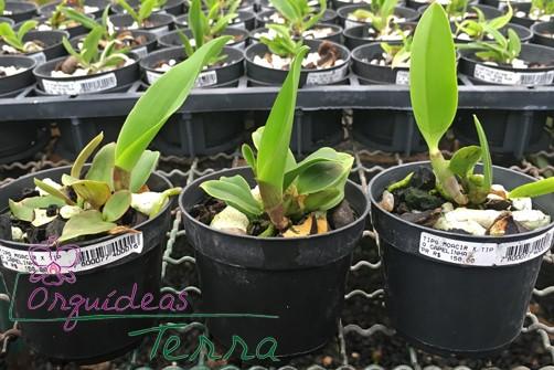 Cattleya walkeriana tipo Moacir X Cattleya walkeriana tipo Capelinha  - Orquídeas Terra
