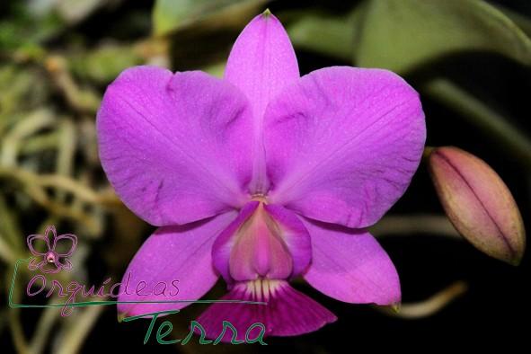 Cattleya walkeriana tipo Nelson  - Orquídeas Terra