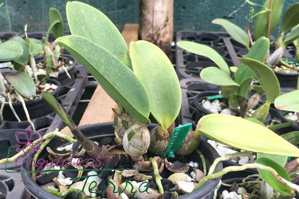 Cattleya walkeriana tipo Obra Prima TE  - Orquídeas Terra