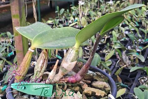 Cattleya walkeriana tipo Pedro I TE  - Orquídeas Terra