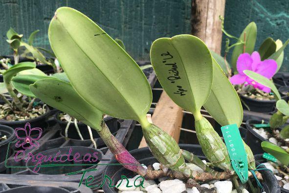 Cattleya walkeriana tipo Rachel LR  - Orquídeas Terra