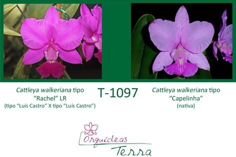 Cattleya walkeriana tipo Rachel LR X Cattleya walkeriana tipo Capelinha  - Orquídeas Terra