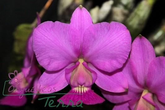 Cattleya walkeriana tipo Rafael Cavasini CVSN  - Orquídeas Terra