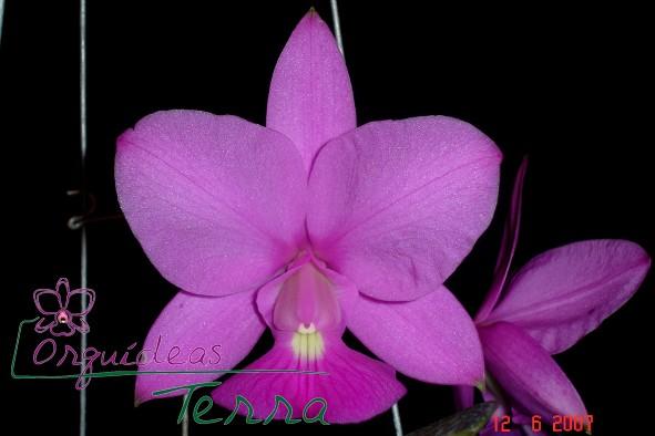 Cattleya walkeriana tipo Raynne  - Orquídeas Terra
