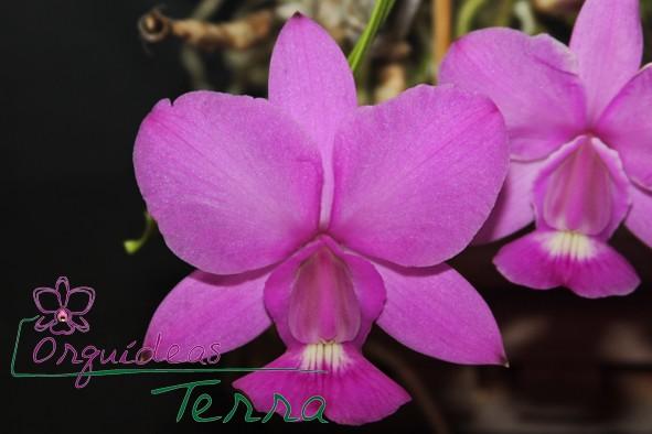 Cattleya walkeriana tipo Tuta  - Orquídeas Terra