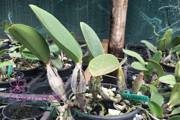 Cattleya walkeriana tipo Venenosa TE  - Orquídeas Terra