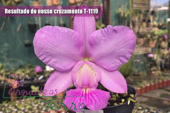 Cattleya walkeriana tipo Veredinha X Cattleya walkeriana tipo Karina TE  - Orquídeas Terra