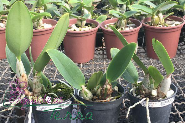 Cattleya walkeriana vinicolor Zé Luiz X Cattleya walkeriana vinicolor Aurecy  - Orquídeas Terra