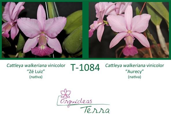 """Cattleya walkeriana vinicolor Zé Luiz X Cattleya walkeriana vinicolor """"Aurecy""""  - Orquídeas Terra"""