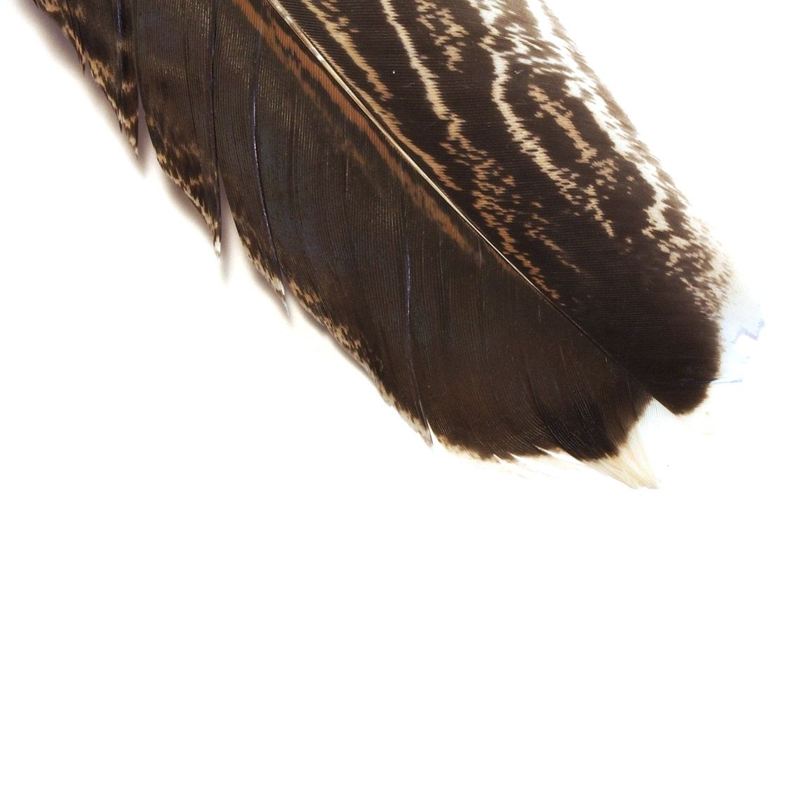 Mottled Pheasant Quill
