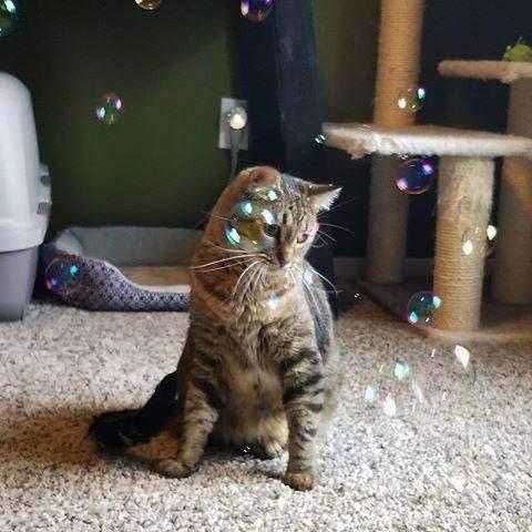 Catnip Bubbles (bolhas de catnip)