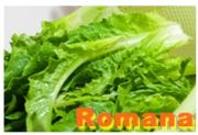 Alface Romana - João