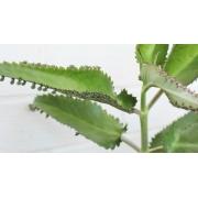 2 Mudas De Aranto - Kalanchoe Daigremontiana - Planta Aranto Verdadeiro