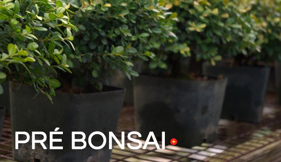 categoria pré-bonsai