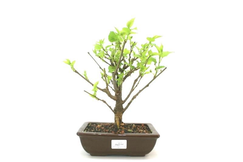 Bonsai amora aproximadamente 06 anos - medida da planta (AxL) 25x25 cm
