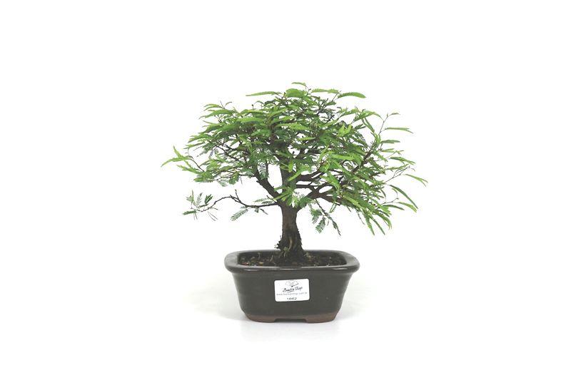 Bonsai Caliandra Rosa 03  anos - medida da planta (AxL) 17x20 cm