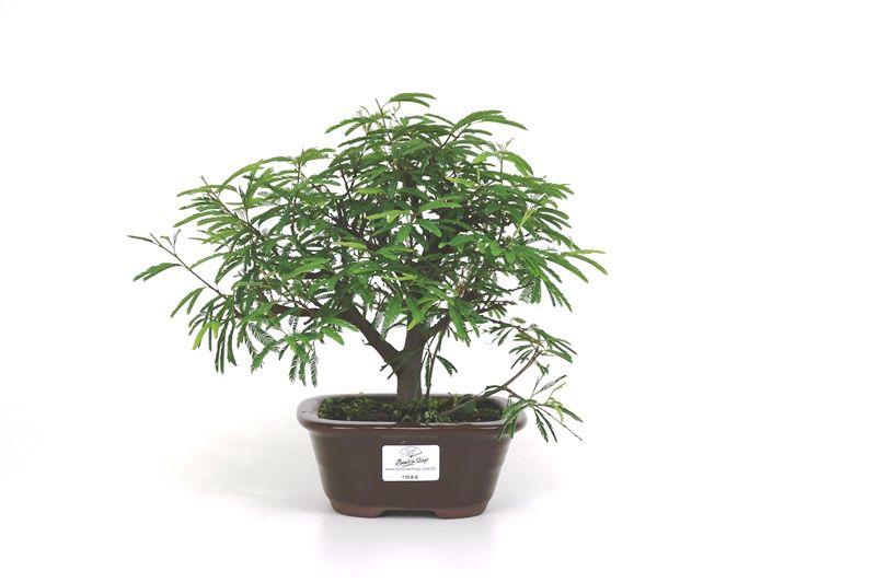 Bonsai Caliandra Rosa 03  anos - medida da planta (AxL) 19x26 cm