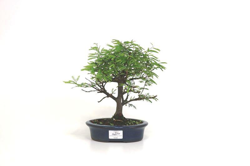 Bonsai Caliandra Rosa 04 anos - medida da planta (AxL) 21x21 cm