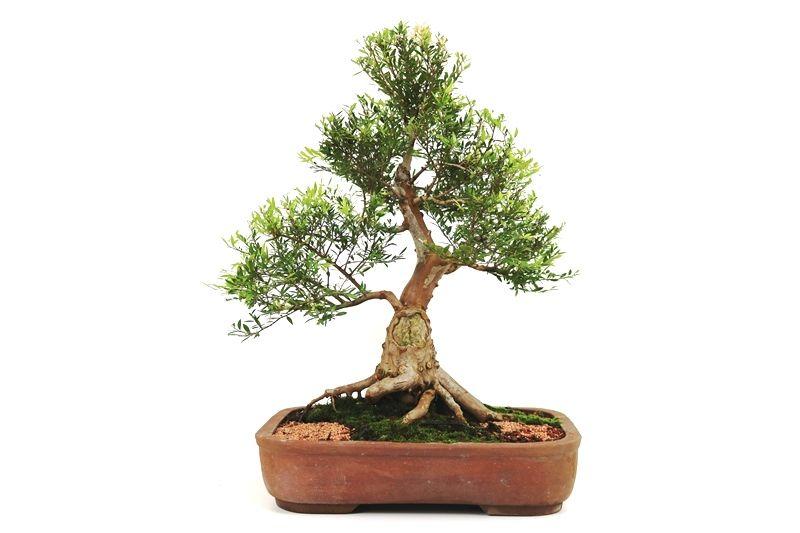 Bonsai Cambui  14 anos - medida da planta (AxL) 47x47 cm