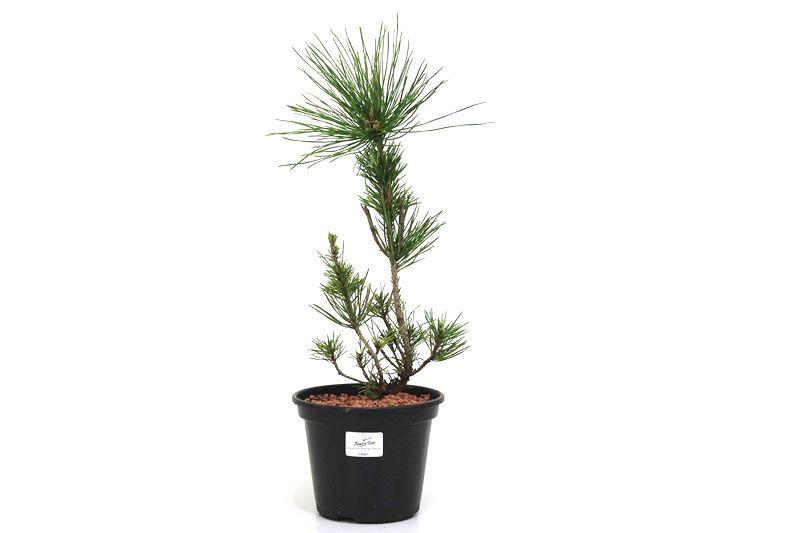 Pré-Bonsai Pinheiro Negro - 06 anos - medida da planta (AxL)  33x13 cm