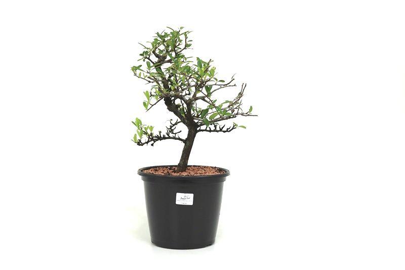 Pré-Bonsai Piracanta amarela 06 anos - medida da planta (AxL) 31x31 cm