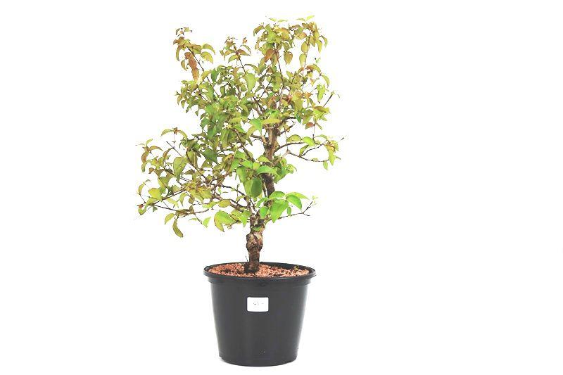 Pré-Bonsai Pitanga 08 anos - medida da planta (AxL) 43x34 cm