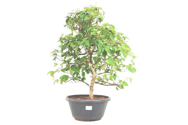Pré-Bonsai Pitanga 13 anos - medida da planta (AxL) 55x50 cm